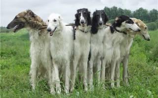 Лучшие охотничьи собаки для содержания в квартире